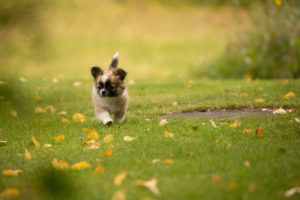 Chihuahua puppy, longhaired, walks in the garden, autumnal scene, Finland