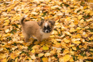 Chihuahua puppy, longhaired, fall leaves, garden, Finland
