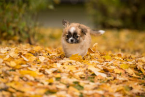 Chihuahua puppy, longhaired, autumn scene, garden, Finland