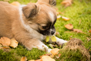 Chihuahua puppy, longhaired, curious, garden, Finland