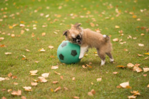 Chihuahua puppy, longhaired, playing football, Finland
