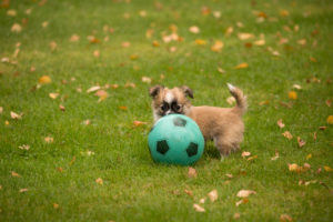 Chihuahua puppy, longhaired, play, football, outdoor