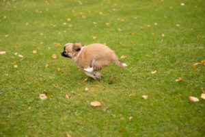 Chihuahua puppy, longhaired, running fast, green grass, outdoor,