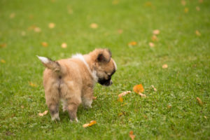 Chihuahua puppy, longhaired, curious, outdoor, grass