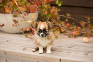 Chihuahua puppy, longhaired, eight weeks old, sitting outside on the terrace