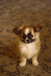 Chihuahua (longhaired) puppy, sitting on the carpet, Finland