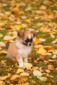 Chihuahua (longhaired) puppy, sits, garden, autumn, Finland