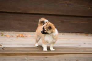 Chihuahua (longhaired) puppy, standing, outdoor, Finland