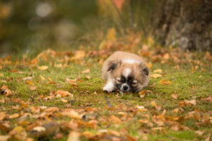 Chihuahua (longhaired) puppy, funny look, garden, autumn, Finland