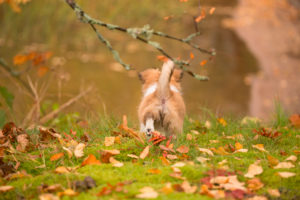 Chihuahua (longhaired) puppy, walk, explore, garden, autumn, Finland
