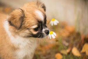 Chihuahua (longhaired) puppy, wild flower, garden, autumn, Finland