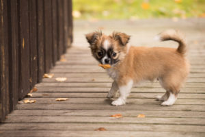 Chihuahua (longhaired) puppy, autumn, Finland