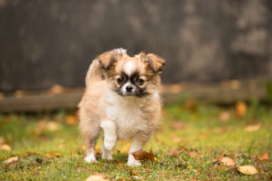 Chihuahua (longhaired) puppy, garden, autumn, Finland
