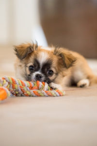 Chihuahua (longhaired) puppy with toy