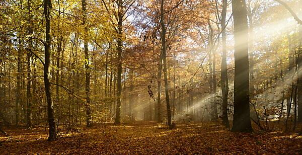 Sonnenstrahlen und Morgennebel, Laubwald im Herbst, Ziegelrodaer Forst, Sachsen-Anhalt, Deutschland