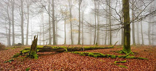 Deutschland, Hessen, Nationalpark Kellerwald-Edersee, Rotbuchen (Fagus sylvatica), Buchenwald im Herbst, kahle Bäume und Nebel, Totholz von Moos bedeckt