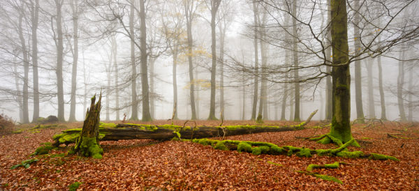 Germany, Hesse, Kellerwald-Edersee National Park, European beech (Fagus sylvatica), beech forest in autumn, bare trees and fog, deadwood covered by moss