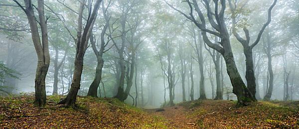 Mysterious forest in the fog, bizarre overgrown beech trees, autumn, Ore Mountains, Czech Republic