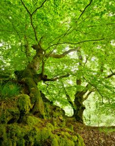 Alte verwachsene Buchen auf moosbedeckten Felsen, Nationalpark Kellerwald-Edersee, Hessen, Deutschland