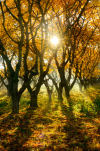 Orchard meadow in autumn, sunrays and morning fog, near Querfurt, Saxony-Anhalt, Germany