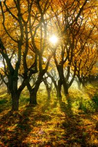 Streuobstwiese im Herbst, Sonnenstrahlen und Morgennebel, bei Querfurt, Sachsen-Anhalt, Deutschland