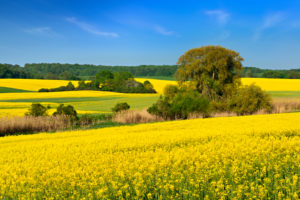 Blossoming rape field, original cultivated landscape with copses, Biospherenreservat Schorfheide-Chorin, Uckermark, Brandenburg, Germany
