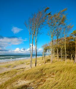 Germany, Mecklenburg-Western Pomerania, Fischland-Darß-Zingst, Darss peninsula, Western Pomerania Lagoon Area National Park, wild coastal scenery, coastal forest, wind-shaped tree, view of Baltic Sea