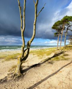 Germany, Mecklenburg-Western Pomerania, Fischland-Darß-Zingst, Darss peninsula, Western Pomerania Lagoon Area National Park, wild coastal scenery, wind-shaped tree, bare-washed beech tree, coastal erosion, view of Baltic Sea