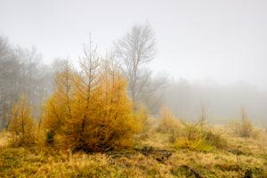 Deutschland, Hessen, Nationalpark Kellerwald-Edersee, Lichtung, sog. Triesch, mit jungen Lärchen im Spätherbst, Nebel,