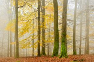 Deutschland, Hessen, Nationalpark Kellerwald-Edersee, Rotbuchen (Fagus sylvatica), Buchenwald im Herbst, letztes buntes Laub, kahle Bäume und Nebel