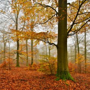Deutschland, Hessen, Nationalpark Kellerwald-Edersee, Rotbuchen (Fagus sylvatica), Buchenwald im Herbst, buntes Laub und Nebel