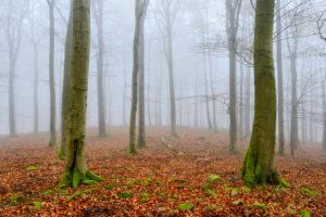 Deutschland, Hessen, Nationalpark Kellerwald-Edersee, Rotbuchen (Fagus sylvatica), Buchenwald im Herbst, kahle Bäume und Nebel