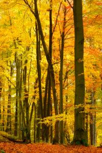 Farbenprächtiger Laubmischwald mit alten Eichen und Buchen im Herbst, Naturpark Spessart, Weibersbrunn, Bayern, Deutschland, Europa