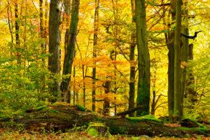 Naturnaher Laubmischwald mit alten Eichen und Buchen im Herbst, moosbedecktes Totholz, Naturpark Spessart, Weibersbrunn, Bayern, Deutschland, Europa