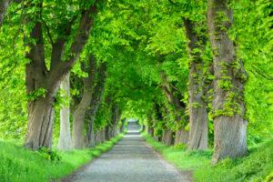 Chestnut Avenue in spring, old cobblestones, near Binz, Rügen, Mecklenburg-Vorpommern, Germany