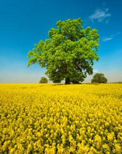 Blühendes Rapsfeld mit alten solitären Eichen, blauer Himmel mit Schönwetterwolken, Mecklenburgische Schweiz, Mecklenburg-Vorpommern, Deutschland