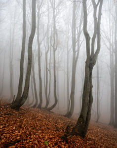 Mysterious forest in the fog, bizarre overgrown bare beeches, autumn, Ore Mountains, Czech Republic
