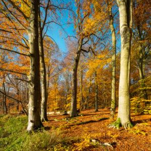 Deutschland, Mecklenburg-Vorpommern, Müritz-Nationalpark, Teilgebiet Serrahn, UNESCO Weltnaturerbe Buchenurwälder der Karpaten und Alte Buchenwälder Deutschlands, unberührter sonniger Buchenwald im Herbst, goldenes Laub