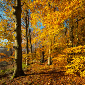 Germany, Mecklenburg-West Pomerania, Müritz National Park, Serrahn sub-area, UNESCO world natural beech forests of the Carpathians and old beech forests in Germany, untouched sunny beech forest in autumn, golden foliage