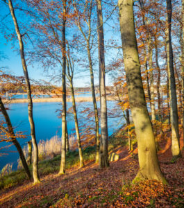 Germany, Mecklenburg-West Pomerania, Müritz National Park, sub-area Serrahn, UNESCO world natural beech forests of the Carpathians and old beech forests of Germany, untouched beech forest on Lake Schweingarten in autumn