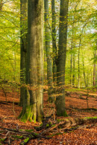 Germany, Mecklenburg-West Pomerania, Müritz National Park, sub-area Serrahn, UNESCO world natural beech forests of the Carpathians and old beech forests of Germany, untouched beech forest in autumn