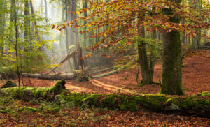 Germany, Mecklenburg-West Pomerania, Müritz National Park, Serrahn sub-area, UNESCO world natural beech forests of the Carpathians and old beech forests of Germany, untouched beech forest with dead wood in autumn, sun shines through morning mist
