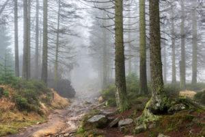 Deutschland, Niedersachsen, Nationalpark Harz, Kaiserweg, Wanderweg durch nebligen Fichtenwald