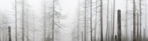 Deutschland, Niedersachsen, Nationalpark Harz, nebliger toter Wald, abgestorben durch Trockenheit und Borkenkäferbefall, Panorama