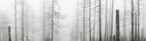 Germany, Lower Saxony, Harz National Park, foggy dead forest, dead from drought and bark beetle infestation, panorama