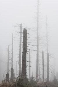 Deutschland, Niedersachsen, Nationalpark Harz, nebliger toter Wald, abgestorben durch Trockenheit und Borkenkäferbefall