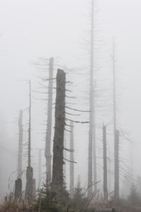 Germany, Lower Saxony, Harz National Park, foggy dead forest, dead from drought and bark beetle infestation