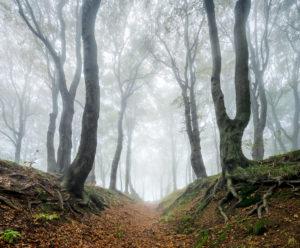 Hollow path through mysterious forest in the fog, bizarre overgrown beech trees, autumn, Ore Mountains, Czech Republic