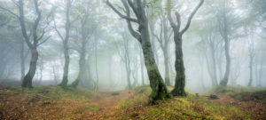 Mysterious forest in the fog, bizarre overgrown beech trees, autumn, Ore Mountains, Czech Republic