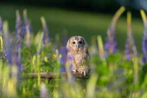 One young Ural owl sitting on a branch in a field of flowering lupines in late evening light.